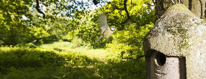 Photo of a Blue Tit flying towards a nest box in Whtham Woods