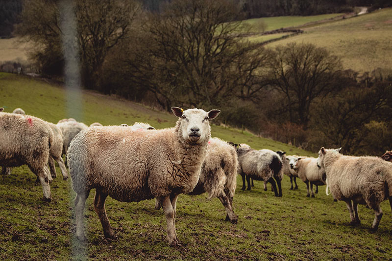 A herd of sheep grazing in a green field surrounded by trees